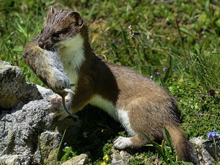 stoats-weasels-mink-control