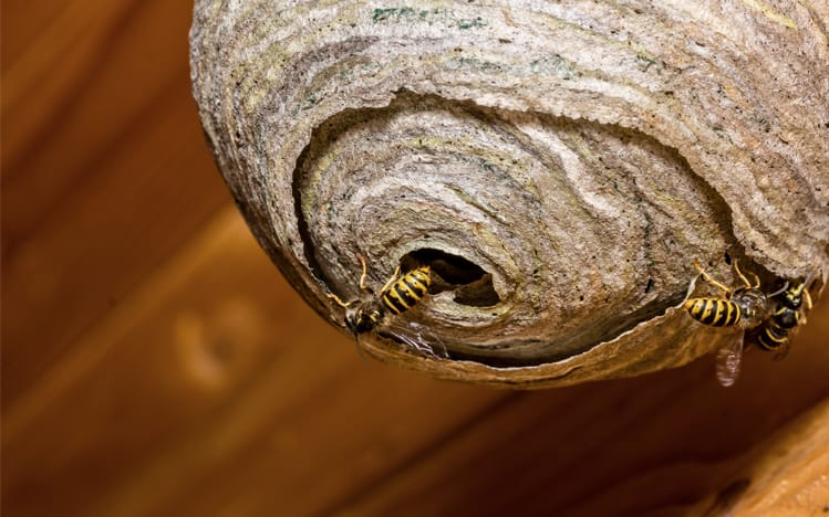 Watch Out For Wasp Nests Andy Law Pest Control