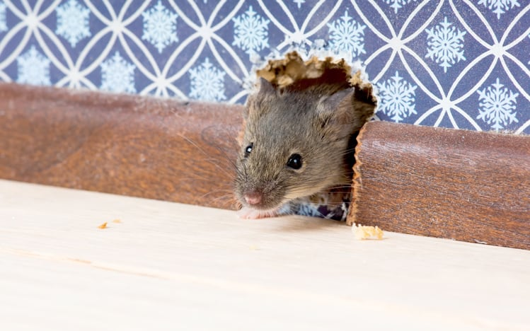 Mouse-proof Your House - Andy Law Pest Control