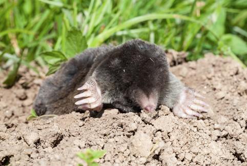 mole-gallery