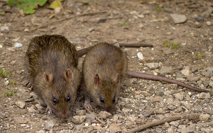 Is Your Property Attractive To Rats Andy Law Pest Control
