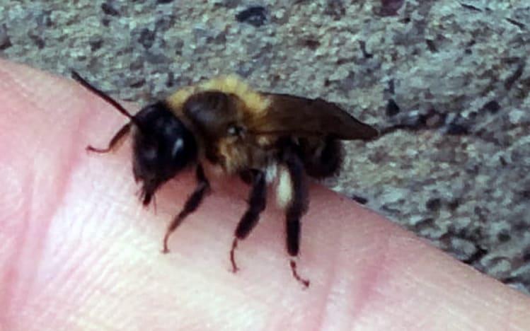 masonary bee