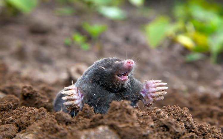 mole garden