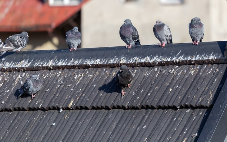 Get Rid Of Pigeons And Pigeon Mess