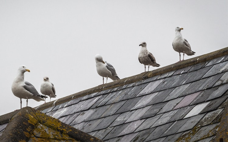 gulls on roof