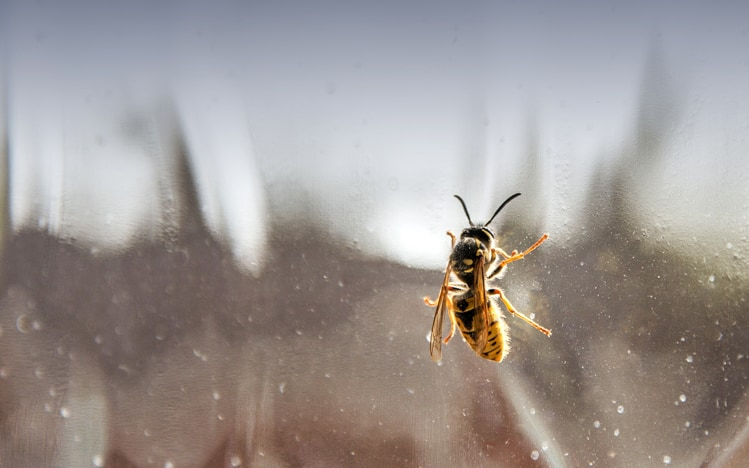 Wasps at the window