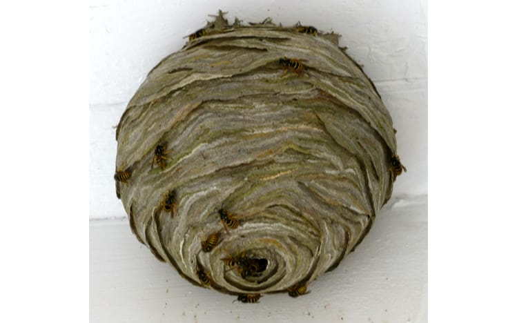 What does a wasp nest look like