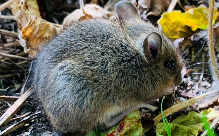 Rodent Control in Perth